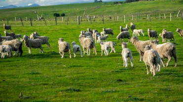 Schafe überall!